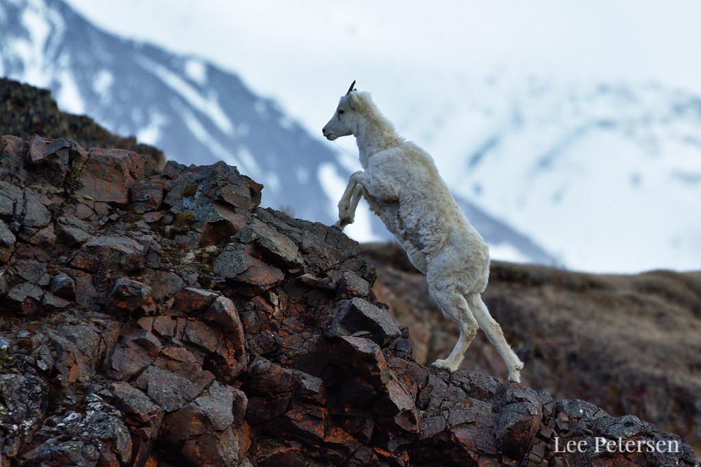 Dall sheep climbing near Polychrome Pass