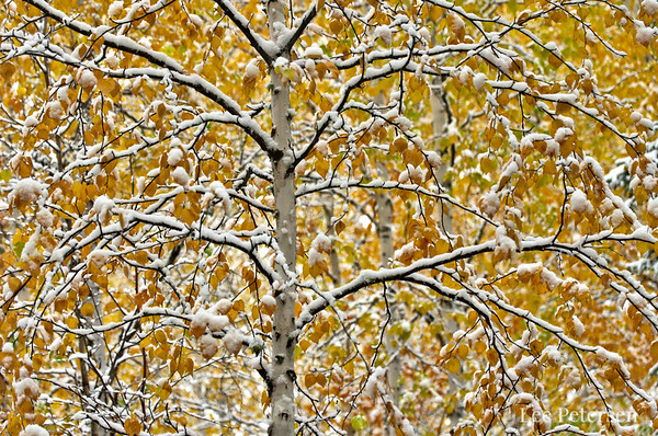 birch trees with snow