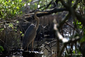 Great Blue Heron at Pelican Island National Wildlife Refuge in Florida