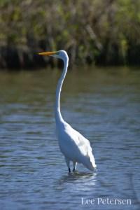 Great Egret at Pelican Island National Wildlife Refuge