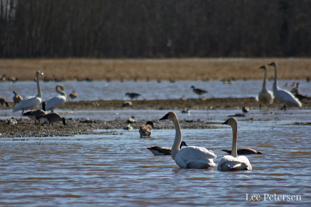 Trumpeter swans at Creamer's Field in Fairbanks, Alaska