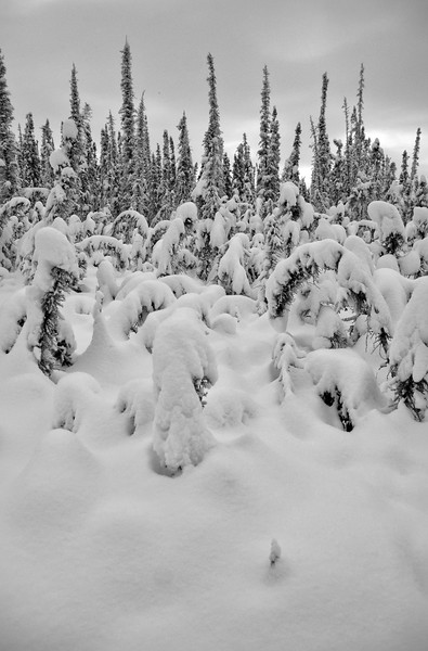 Heavily stunted area of the boreal forest meets tall white and black spruce. Most likely due to permafrost proximity to the surface.