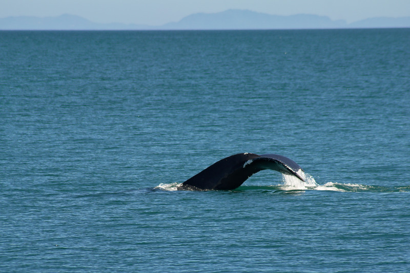 humpback whale tale in Prince William Sound