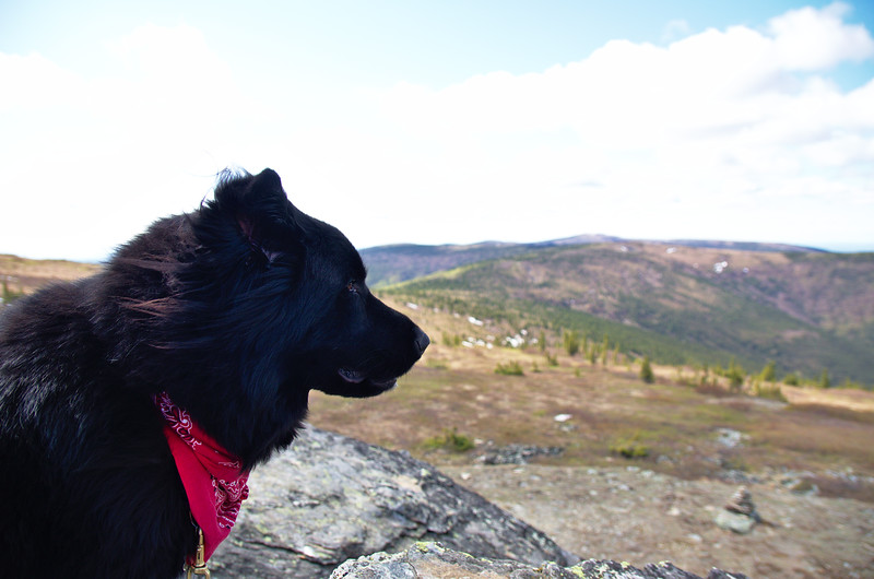 I took the dog for a cool, spring walk on Murphy Dome. I think this is his favorite place, the ground is covered in berries. It's just an enormous berry, treat dispenser.