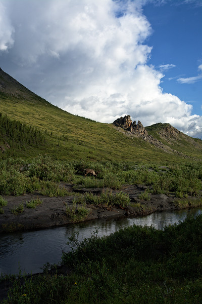 A large bull caribou grazing on lichen and willow over the Savage River.