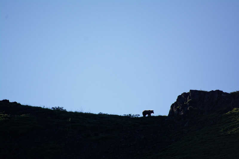 This sow grizzly had two cubs with her. They quickly ran up and over the ridge. Near Sable Pass.