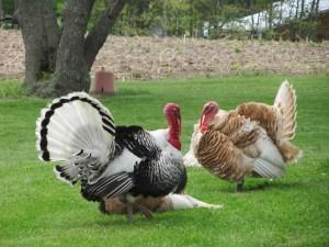 turkey-72771_1280 (1)