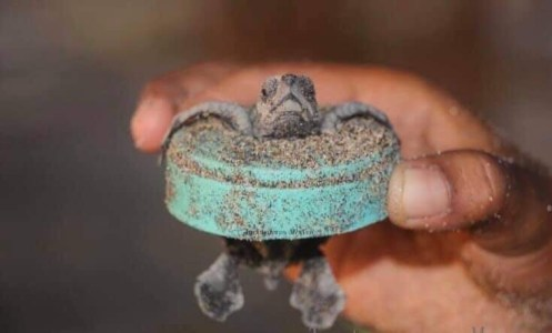 Turtle hatchling caught in a plastic bottle cap