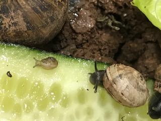 Les bébés escargots de la classe de GS