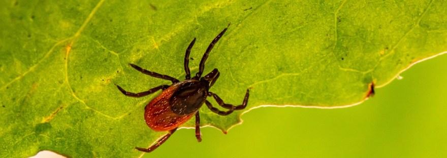 Infectolab - deer tick