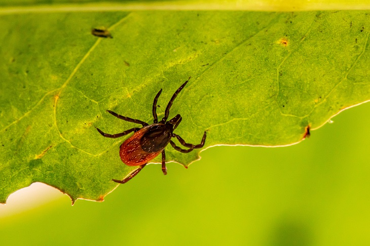 Lyme disease tick on leaf
