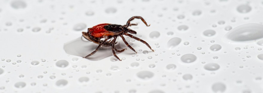close up picture of tick
