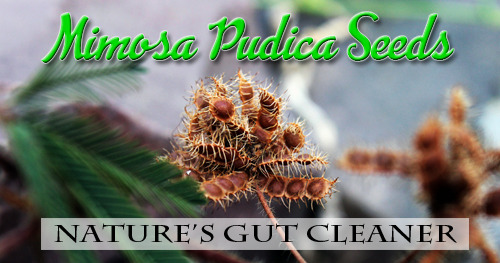 Mimosa Pudica Seeds: Nature's Gut Cleaner