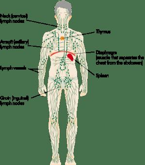 Lymphoma Action | Splenic marginal zone lymphoma
