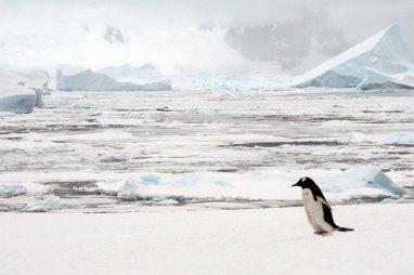 Lone gentoo penguin - Photo credit: Catie Foley