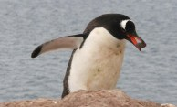 Gentoo penguin collecting stones - Photo credit: Catie Foley