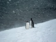 Gentoo penguins in the snow - Photo Credit: Catie Foley