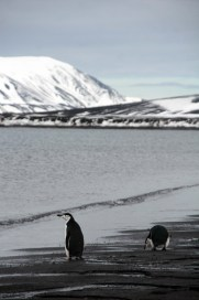 Chinstrap penguins on the shore - Photo Credit: Catie Foley