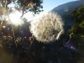 Dandelion seed Jun 13 - Copy