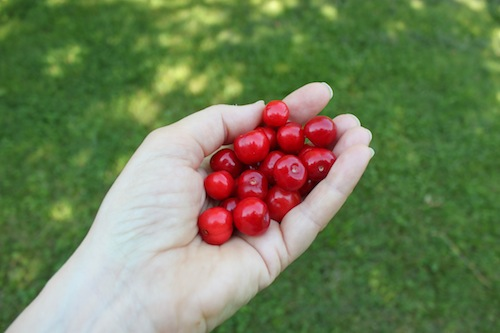 Cherry harvest yesterday
