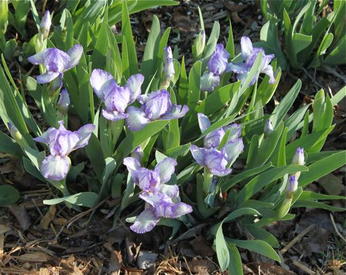 More dwarf irises