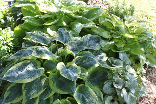 Some of our hostas in the shade area