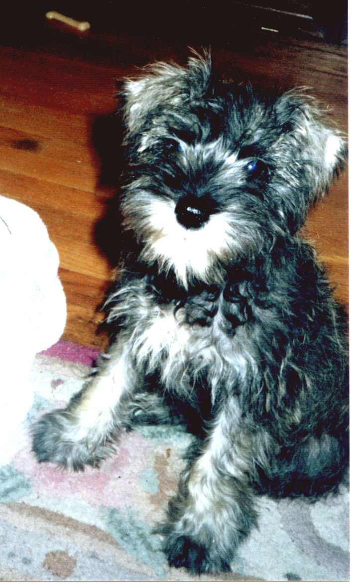 Miniature Schnauzer puppy we named Nemo