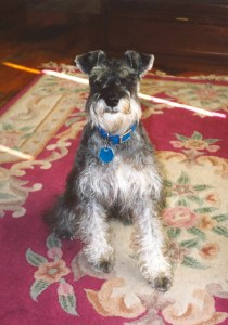 My salt-and-pepper mini schnauzer all grown up and handsome