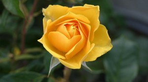 The Yellow Rose of Valentine's Day, a vignette, Be Fabulous