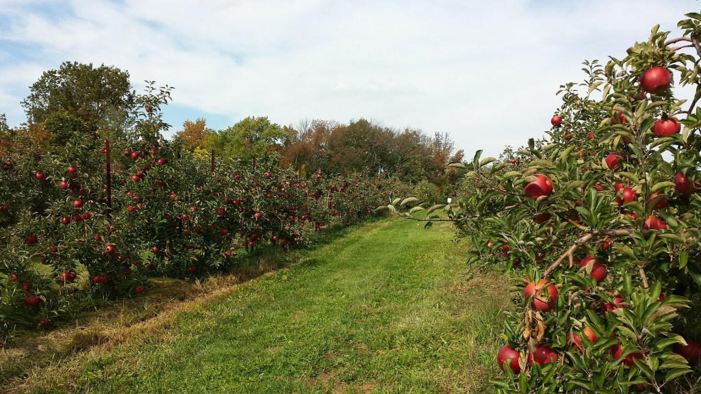 Photo of an Apple Orchard like the one I write about in the Beekeeper's fear