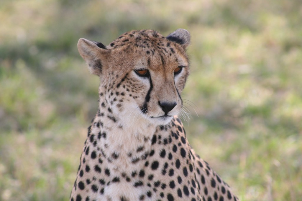 Photo of the African cheetah. The Good, the Bad, and the Ugly about Conservation genetics and saving the African cheetah.