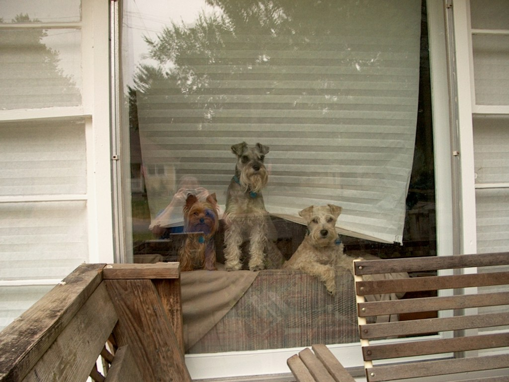 Astro, Nemo, and Cosmo ducked between the curtain and the front window to stare out into the yard.