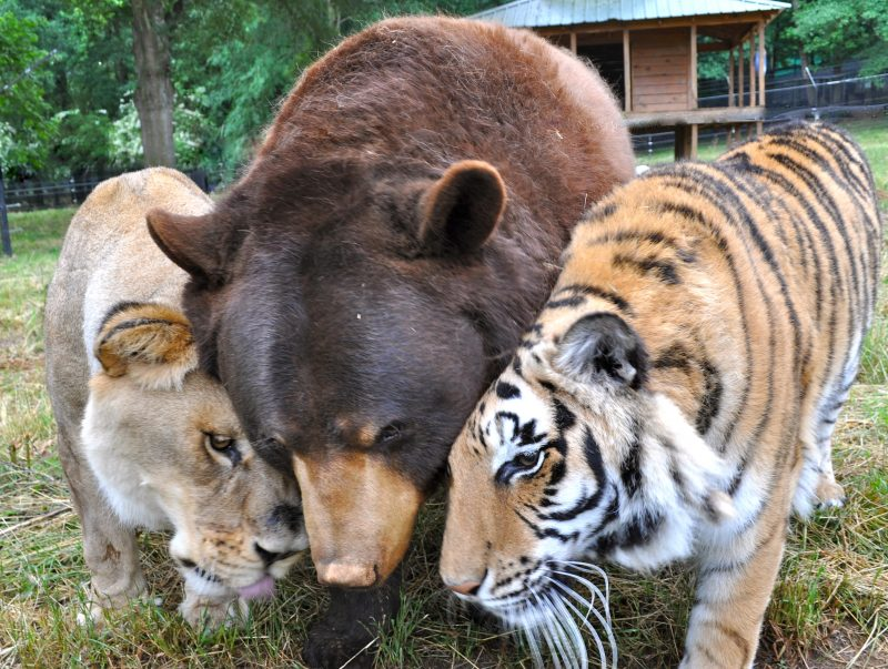 Image of a lioness, a bear, and a tiger nuzzling one another