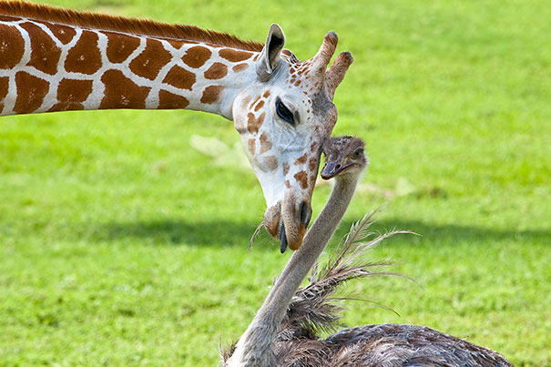 Image of giraffe nuzzling heads with an ostrich