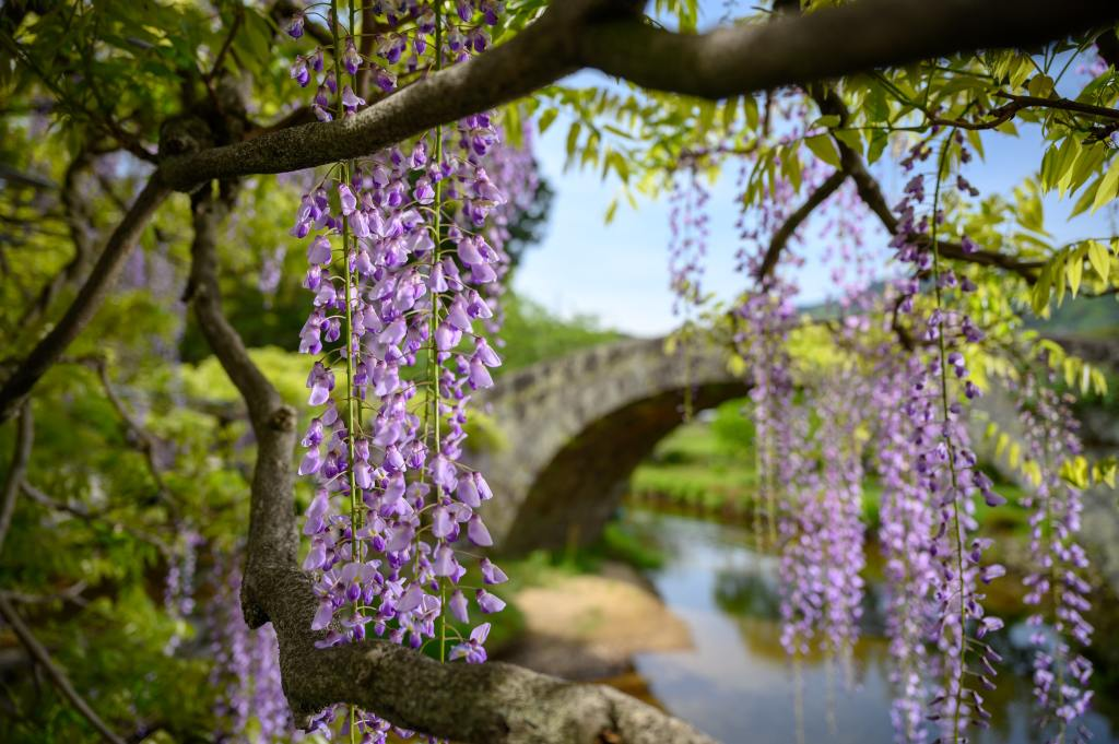 image of wisteria flowers in the foreground with a bridge over a creek in the background.