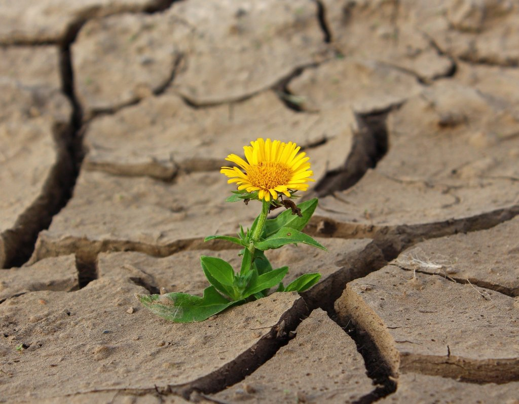Yellow flower growing in dry cracked soil is like your creativity born of your vulnerability