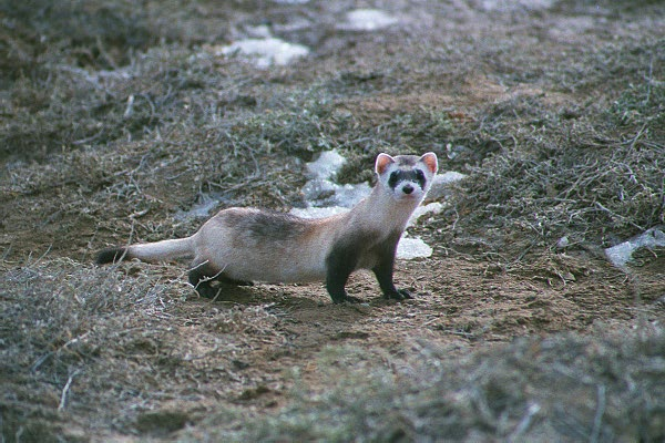 Photograph of a wild black-footed ferret. Cloning this endangered species is also part of the legacy of Dolly the sheep