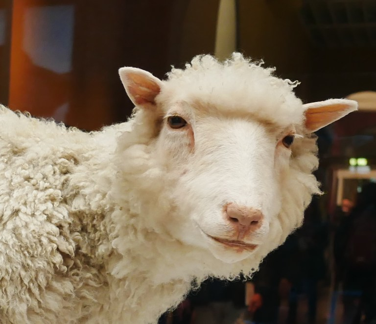 Photo of preserved Dolly the Sheep part of a DNA exhibit at  in Edinburgh's Royal Museum. This is also part of Dolly's Legacy.