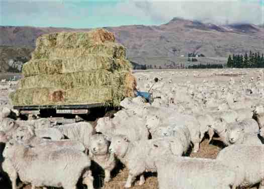 Farm truck stacked with small bales, surrounded by sheep.