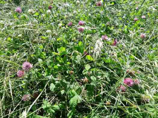 The lush clover, grass and chicory paddock close up.