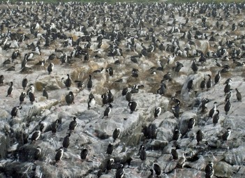 King Cormorants in the Beagle Channel, Chile