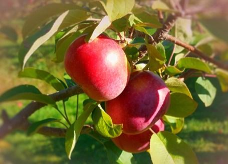 fall apples on tree