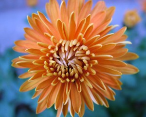 Orange chrysanthemum on a blue background.