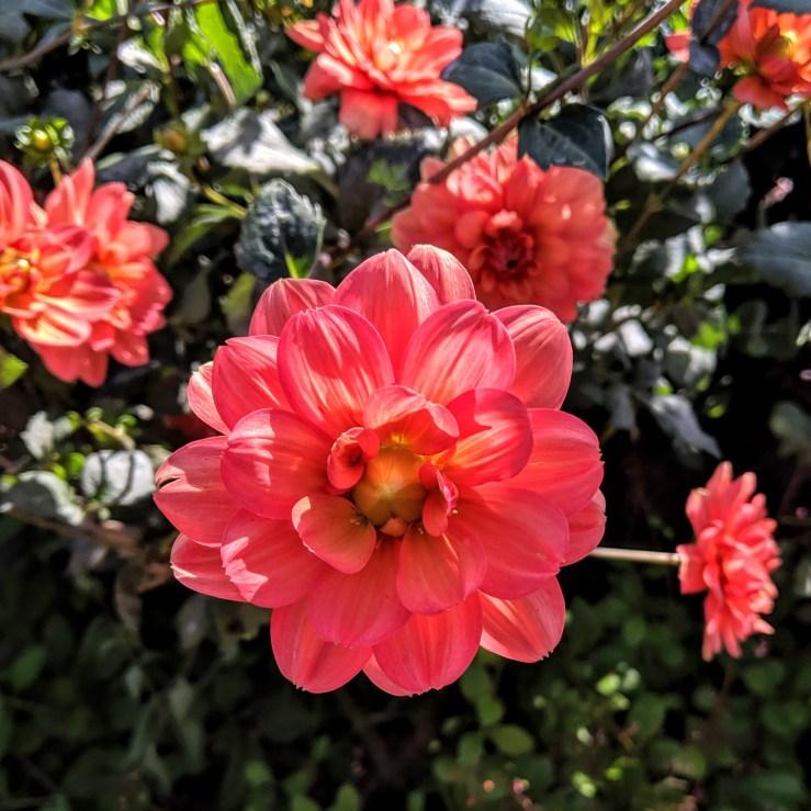 coral-pink dahlias in bloom