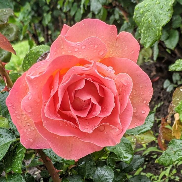 roses blooming in the rain