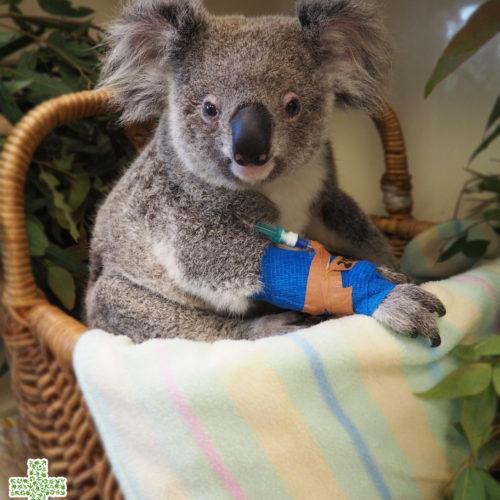 Australia Zoo Wildlife Hospital - Molly