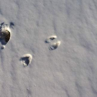 Deer tracks by one of the horse pastures where they leave the fence open.