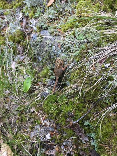 A little toad spotted on the Winter Shortcut trail (or I may have still been on the Gunstock orange trail, I'm not sure).