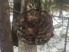 At the yellow/orange trail split, I noticed this huge burl on a skinny little tree.