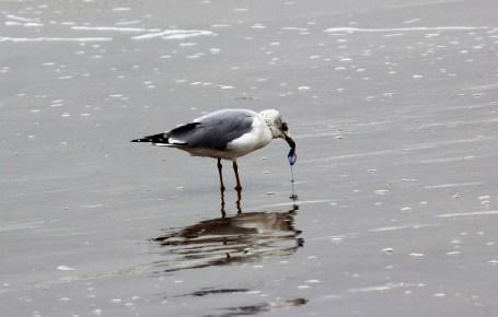 gull-eating-man-o-war